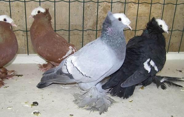 golub-ptica-opisanie-osobennosti-vidy-obraz-zhizni-i-sreda-obitaniya-golubya-15.jpg