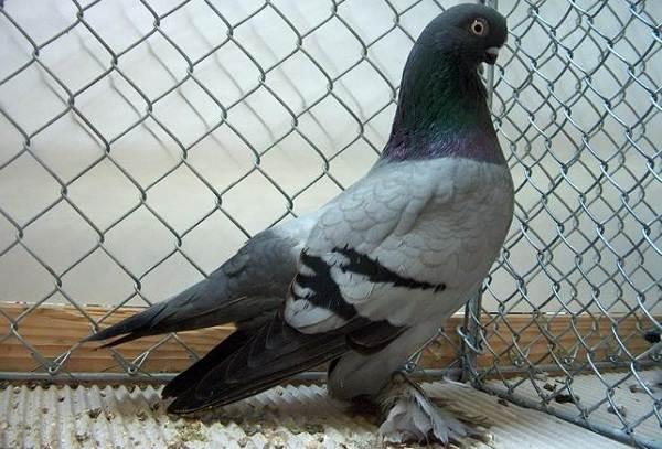 golub-ptica-opisanie-osobennosti-vidy-obraz-zhizni-i-sreda-obitaniya-golubya-16.jpg