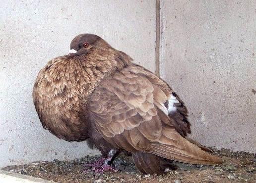 golub-ptica-opisanie-osobennosti-vidy-obraz-zhizni-i-sreda-obitaniya-golubya-17.jpg