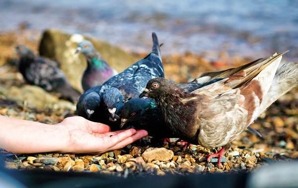 golub-ptica-opisanie-osobennosti-vidy-obraz-zhizni-i-sreda-obitaniya-golubya-21.jpg
