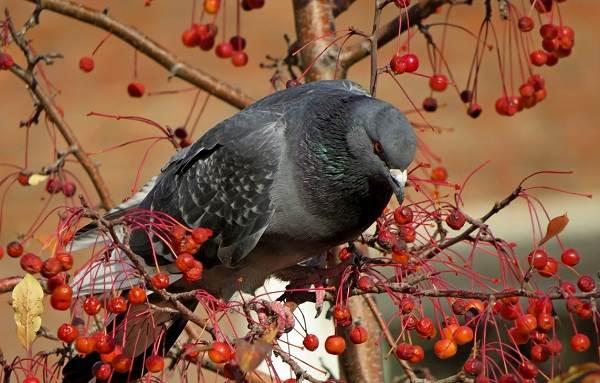 golub-ptica-opisanie-osobennosti-vidy-obraz-zhizni-i-sreda-obitaniya-golubya-23.jpg