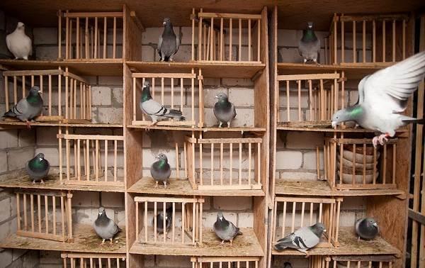 golub-ptica-opisanie-osobennosti-vidy-obraz-zhizni-i-sreda-obitaniya-golubya-26.jpg