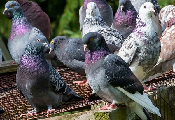 golub-ptica-opisanie-osobennosti-vidy-obraz-zhizni-i-sreda-obitaniya-golubya-27.jpg