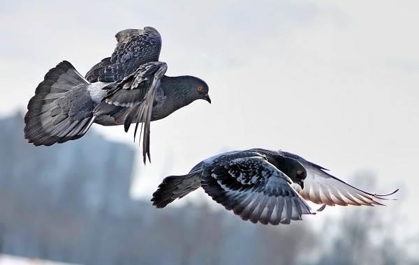 golub-ptica-opisanie-osobennosti-vidy-obraz-zhizni-i-sreda-obitaniya-golubya-4.jpg