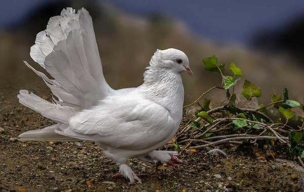 golub-ptica-opisanie-osobennosti-vidy-obraz-zhizni-i-sreda-obitaniya-golubya-5.jpg