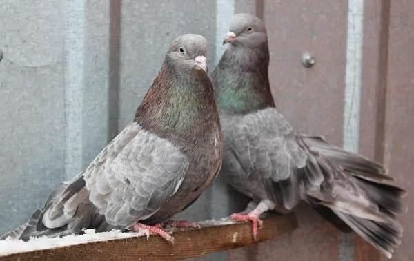 golub-ptica-opisanie-osobennosti-vidy-obraz-zhizni-i-sreda-obitaniya-golubya-6.jpg