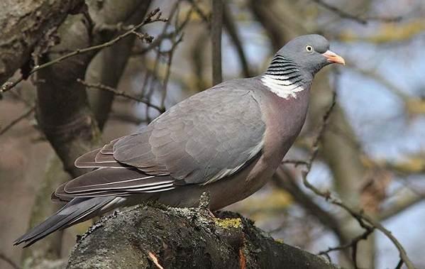 golub-ptica-opisanie-osobennosti-vidy-obraz-zhizni-i-sreda-obitaniya-golubya-7.jpg