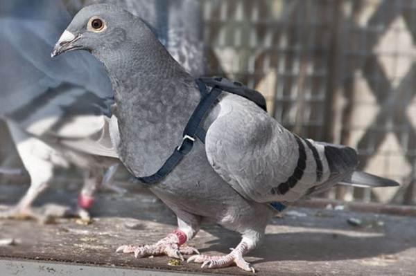golub-ptica-opisanie-osobennosti-vidy-obraz-zhizni-i-sreda-obitaniya-golubya-8.jpg