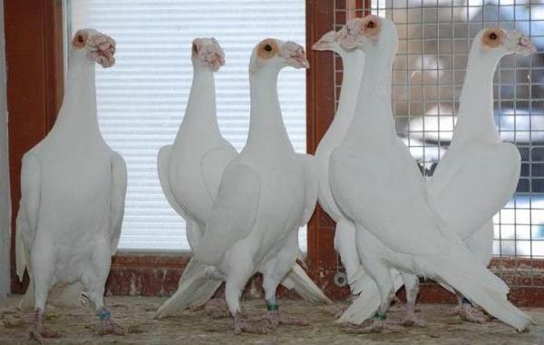 golub-ptica-opisanie-osobennosti-vidy-obraz-zhizni-i-sreda-obitaniya-golubya-9.jpg