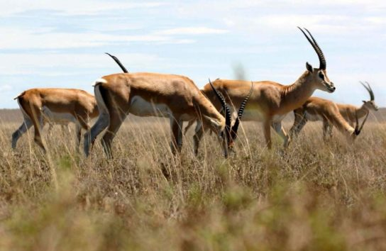 Grants-gazelle-544x354.jpg