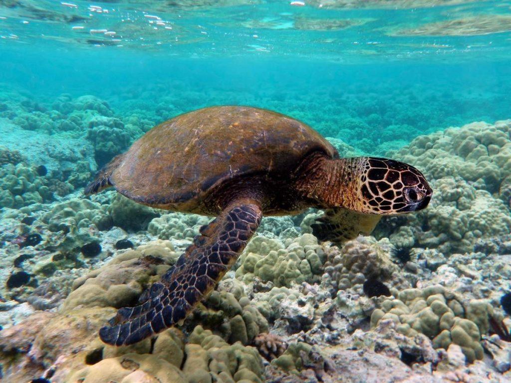 Green_turtle_swimming_over_coral_reefs_in_Kona-e1413272434742.jpg