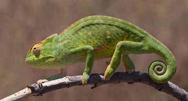 hameleon-afrikanskiy.jpg