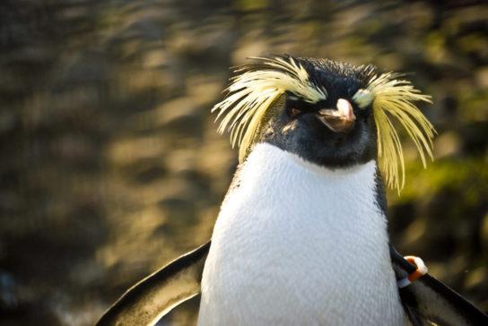 hohlatiy-pingvin-544x364.jpg