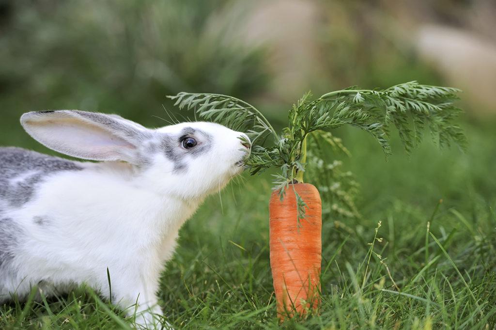 https-s-hswstatic-com-gif-rabbits-love-carrots-o-1024x681.jpeg