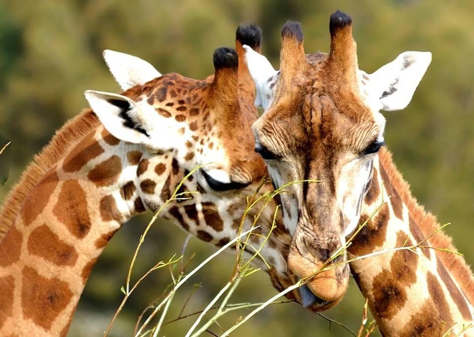 -и-самка-жирафа.jpg