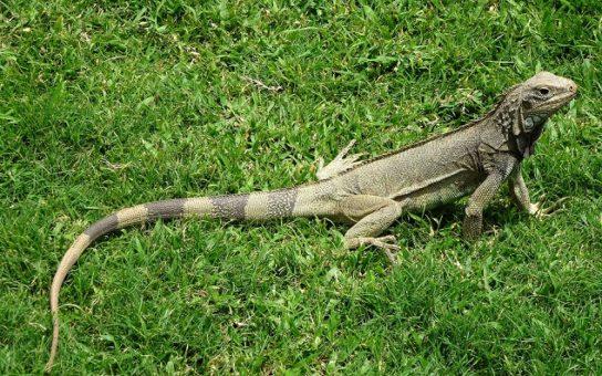 iguana-544x340.jpg