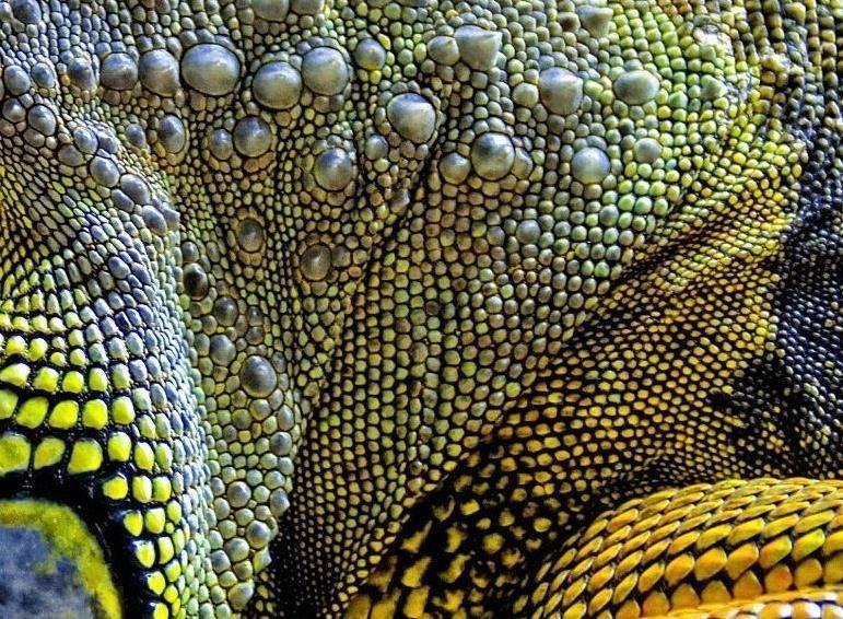 -игуаны-фото.jpg
