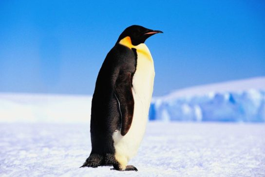 imperatorskiy-pingvin-544x363.jpg