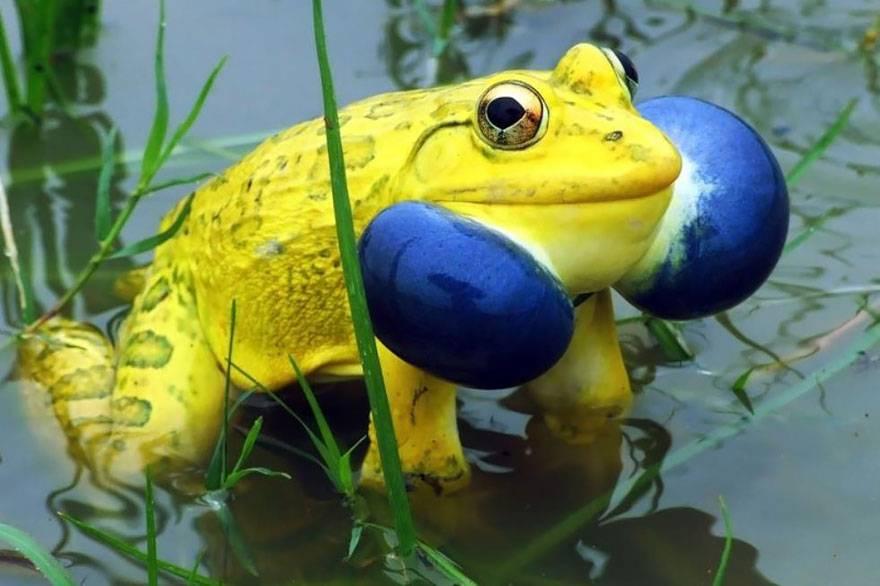 -индийская-лягушка.jpg