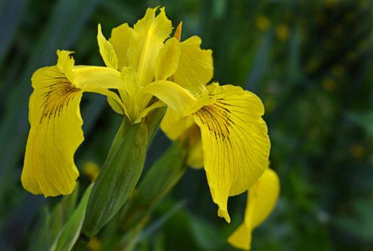iris-zheltiy-544x366.jpg
