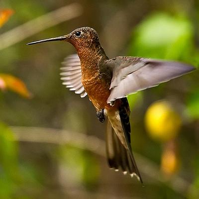 Ispolinskiy-kolibri-2.jpg