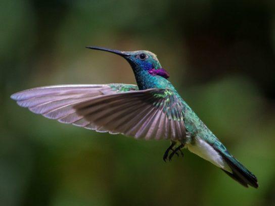 ispolinskiy-kolibri-544x408.jpg