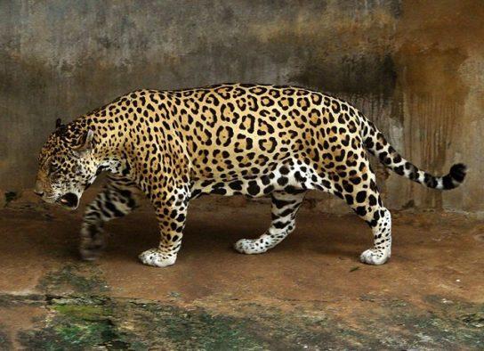 Jaguar-544x394.jpg