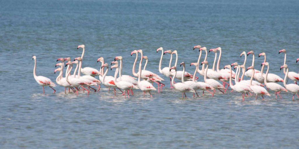 kak_jivet_flamingo.jpg