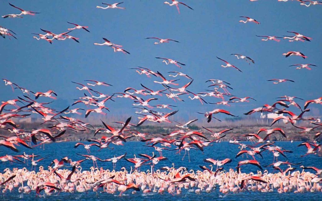 kak_jivut_flamingo.jpg