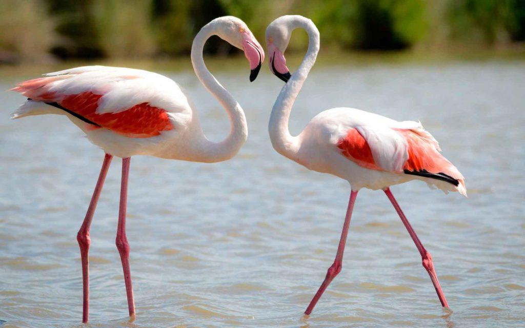 kak_viglyadit_flamingo.jpg