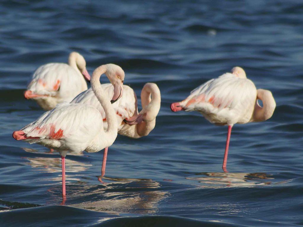 kak_viglyadit_flamingo_obiknovenniy.jpg