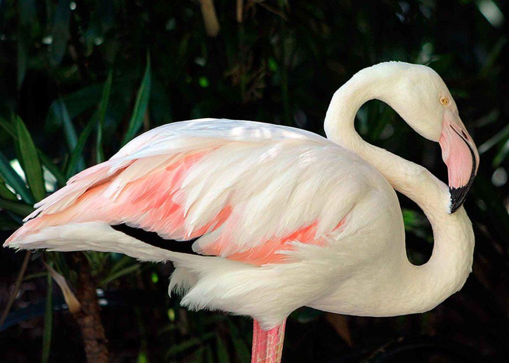 kak_viglyadit_rozoviy_flamingo.jpg