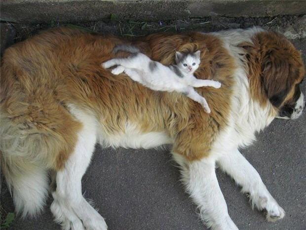 kitten-on-a-saint-bernard-big.jpg