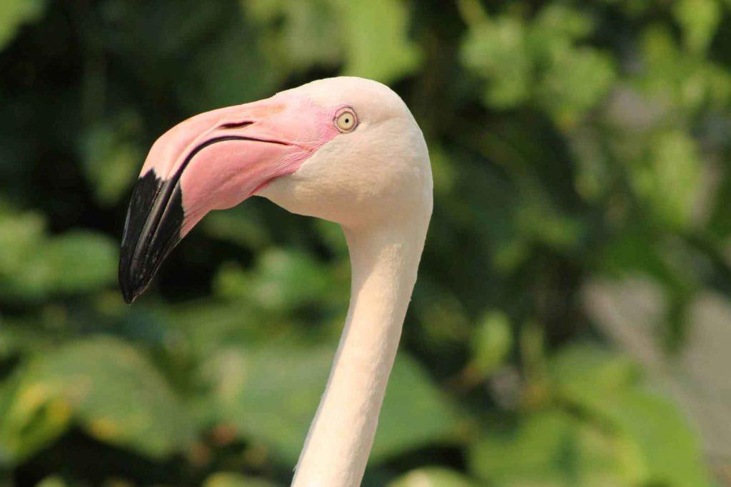 kluv_flamingo.jpg