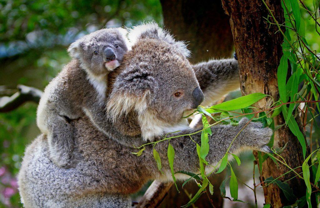 koala2-1024x666.jpg