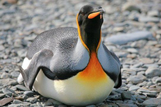 korolevskiy-pingvin-544x363.jpg