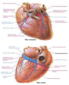 koronarnye_arterii_i_veny-242x300.jpg