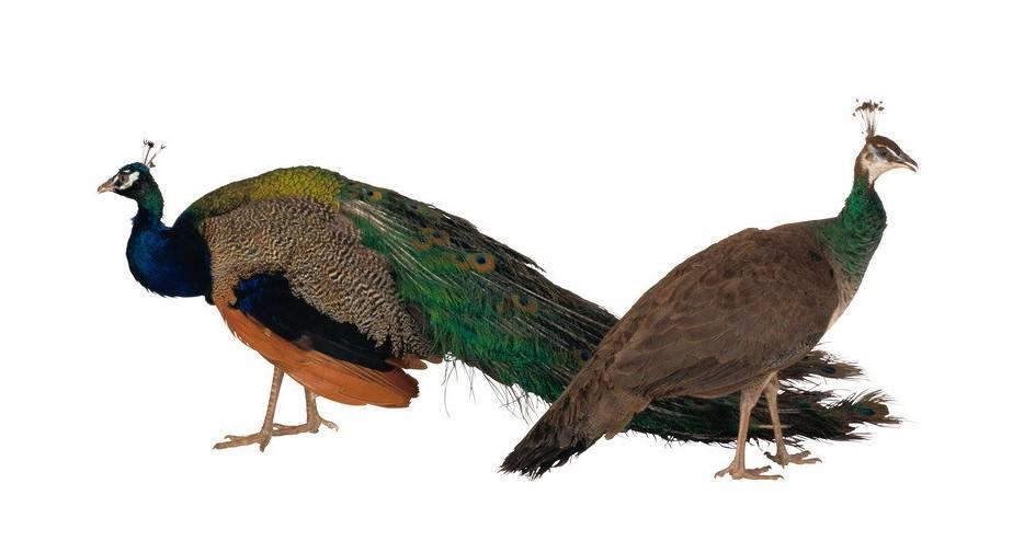 -красивые-птицы-в-мире-павлины-самец-и-самка-фото-e1439468523834.jpg