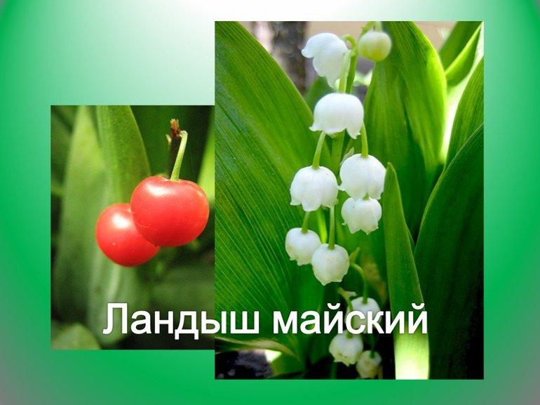 landysh-majskij-kratkoe-opisanie_26.jpg