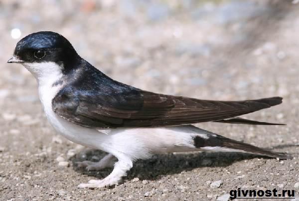 lastochka-ptica-obraz-zhizni-i-sreda-obitaniya-lastochki-1.jpg