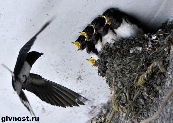 lastochka-ptica-obraz-zhizni-i-sreda-obitaniya-lastochki-10.jpg