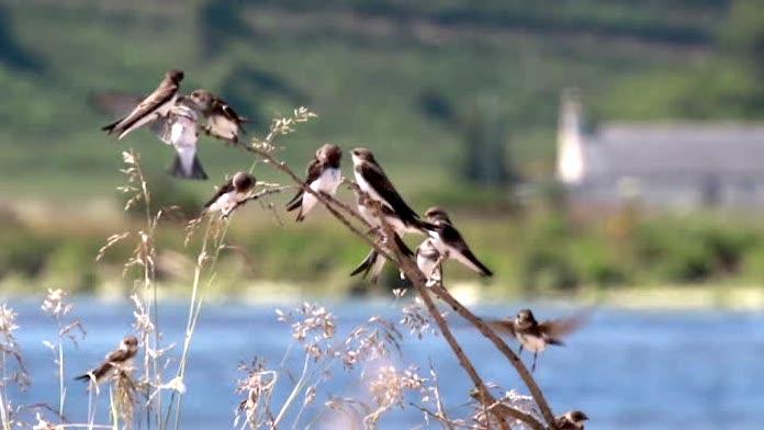 lastochki-i-drugie-pticy.jpg