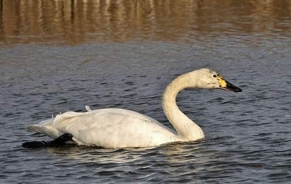 lebed-ptica-obraz-zhizni-i-sreda-obitaniya-lebedya-17.jpg