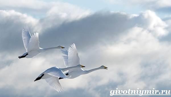 lebed-ptica-obraz-zhizni-i-sreda-obitaniya-lebedya-5.jpg