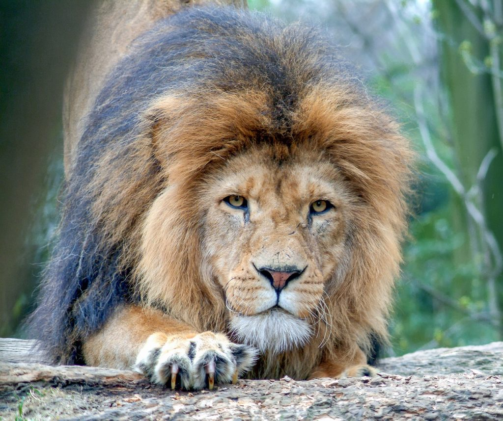 lion-2934020_1280-1024x858.jpg