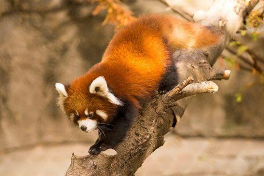 makaya-panda-544x363.jpg