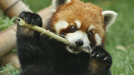 malaia-panda-chem-pitaetsya-544x307.jpg