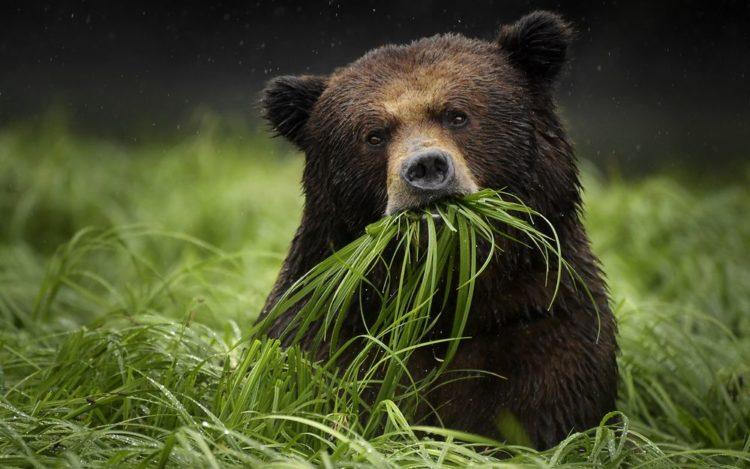 medved-grizli-e1524135931170.jpg