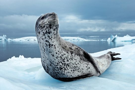 morskoy-leopard-544x363.jpg