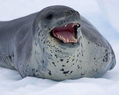 Morskoy-leopard.jpg